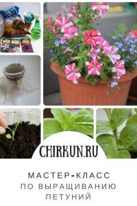 как вырастить петунии своими руками/Chirkun.ru